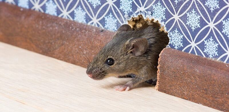 rat breaking into a home